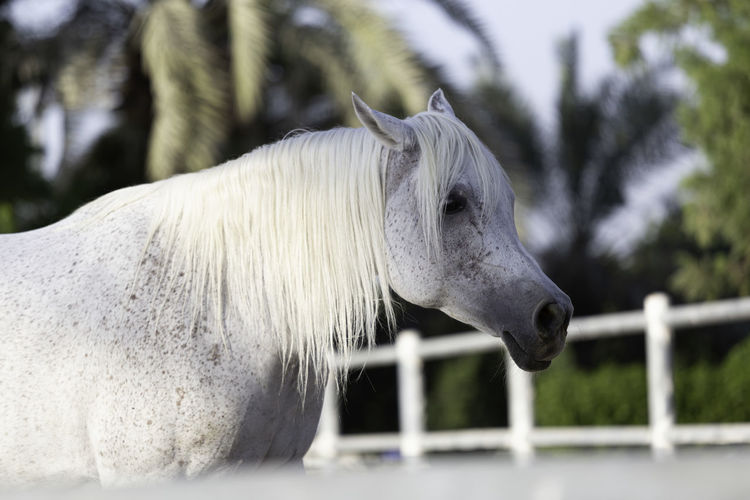 Side view of white horse in ranch