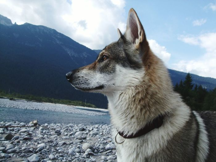 Husky At Riverbank By Mountain Against Sky