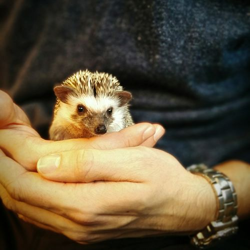 Midsection Of Man Holding Hedgehog