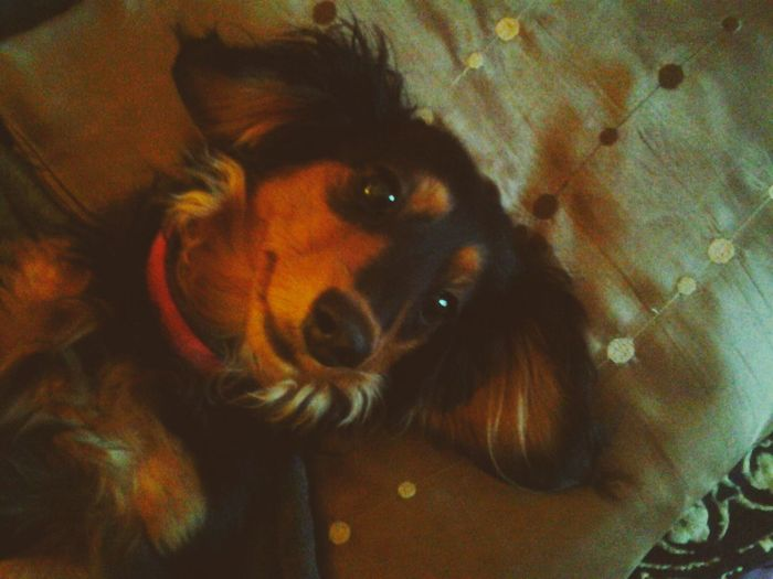 Suzy day of rest .... Relaxing Hello World Check This Out Hanging Out Dachshunds That's Me