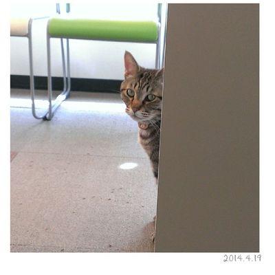 金太郎はみた。 父ちゃんと母ちゃんが仲良くおやつを食べているところを…。* ∞ この後、もちろんおねだりしにきましたฅ* が、、あげていません♥笑 猫 金太郎 1歳11ヶ月 Cat にゃんこig_catペットネコおやばか親ばか部金太郎はみた