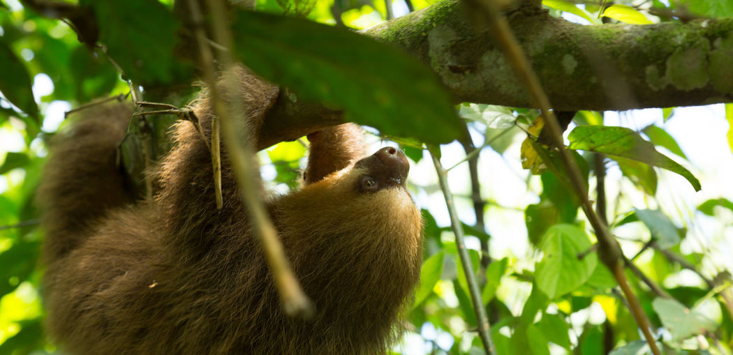 Close-up of sloth hanging on branch