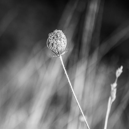 1:1 Beauty In Nature Beauty In Nature Blackandwhite Blackandwhite Photography Close-up Day Focus Object Focus On Foreground Fragility Growth Morning Morning Light Narrow Depth Of Field Nature Nature No People Outdoors Plant