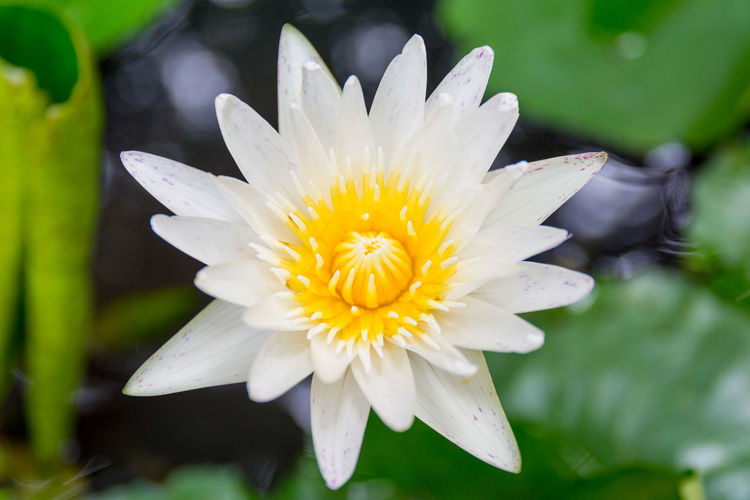 Colorful water lily in Bangkok, Thailand ASIA Bangkok Green Lily Thailand Waterlily Background Beauty In Nature Blooming Close-up Day Flower Flower Head Fragility Freshness Growth Lily Flower Nature No People Outdoors Petal Plant White Yellow Zen