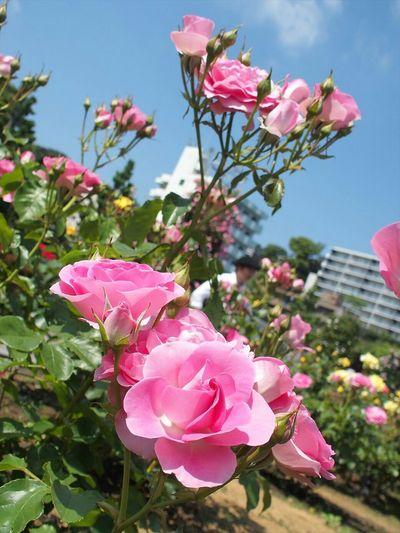 Love me tender♡ こんな名前だけど神奈川生まれ(笑) Flowers Eyeemflowerlover Roses Taking Photos Japan Photography EyeEm Nature Lover Flowerporn