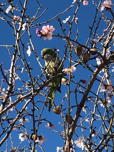 Almond Tree In Blossom Green Perrot Flower Tree Branch Nature Growth Beauty In Nature Petal Blossom Clear Sky