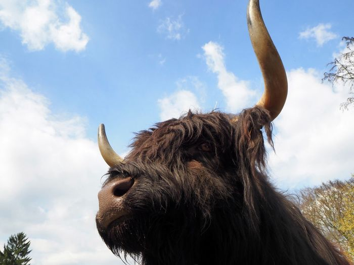 schwarzer Bulle im Wildpark Köln Animal Head  Animal Themes Cattle Close-up Cloud - Sky Cow Day Domestic Animals Domestic Cattle Highland Cattle Horned Livestock Low Angle View Mammal Nature No People One Animal Outdoors Sky