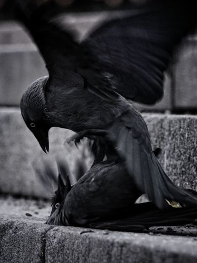 Close-up of black birds fighting on retaining wall