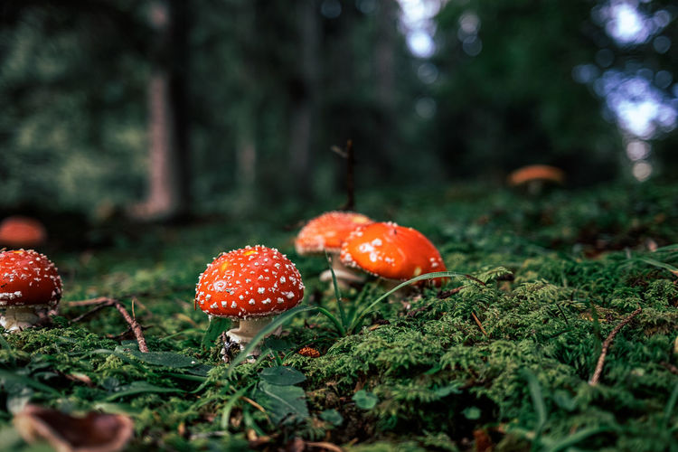 Close-up of fly agaric growing on field
