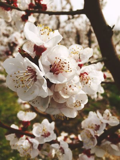 First Eyeem Photo Flower Nature Growth White Color Beauty In Nature Blossom Tree Close-up Springtime Petal Almond Tree Flower Head Stamen Freshness Fragility Twig No People Branch Plum Blossom Outdoors BYOPaper! EyeEm Selects Perspectives On Nature