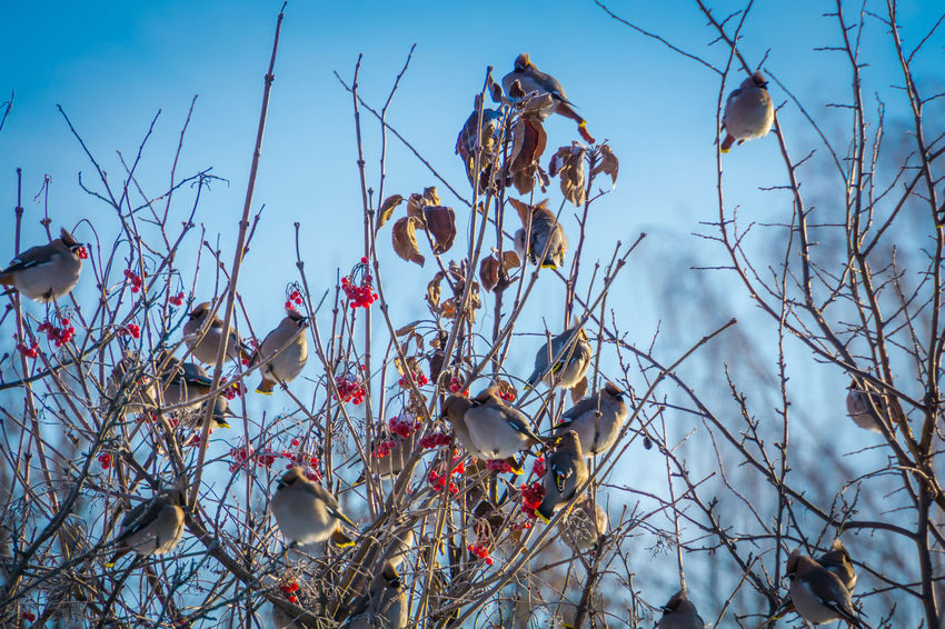 Wintertime Animal Animal Themes Animal Wildlife Animals In The Wild Bare Tree Beauty In Nature Bird Branch Cotton Plant Day Group Of Animals Growth Nature No People Outdoors Perching Plant Sky Tranquility Tree Vertebrate Waxwing Waxwings Winter