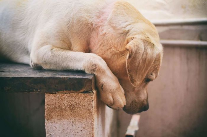 Missing humans.... Animal One Animal Brown Animal Wildlife Outdoors No People Day Tail Animal Themes Close-up Puppyeyes Eyes Black Puppy Labrador Retriever Labrador Dogslife Dogs Of EyeEm Dog Love Lying Down Looking At Camera Indoors  Portrait Domestic Animals Pets