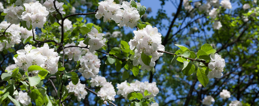 Beautiful sunlight blooming trees Apricot Natural Apple Blossom Banner Beauty In Nature Blossom Branch Close-up Day Flower Head Flowering Plant Freshness Growth Macro Nature No People Outdoors Petal Plant Springtime Summer Tree White Color