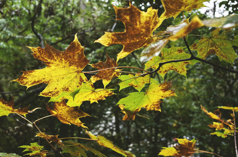 autumn 2016 Autumn Autumn Colors Autumn Leaves Beauty In Nature Branch Change Close-up Focus On Foreground Fragility Green Green Color Leaf Leaf Vein Leaves Leaves🌿 Maple Leaf Natural Condition Nature Outdoors Scenics Season  Season  Tranquility Tree Yellow Color
