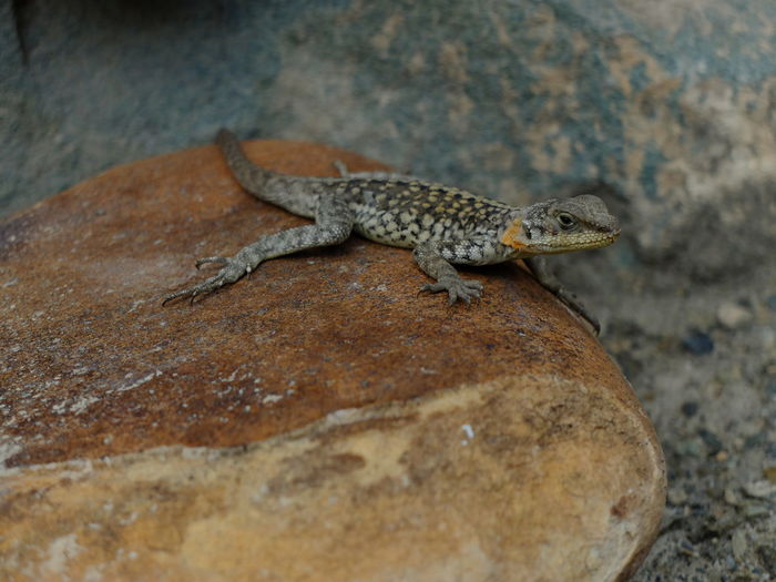 Close-up of lizard on rock