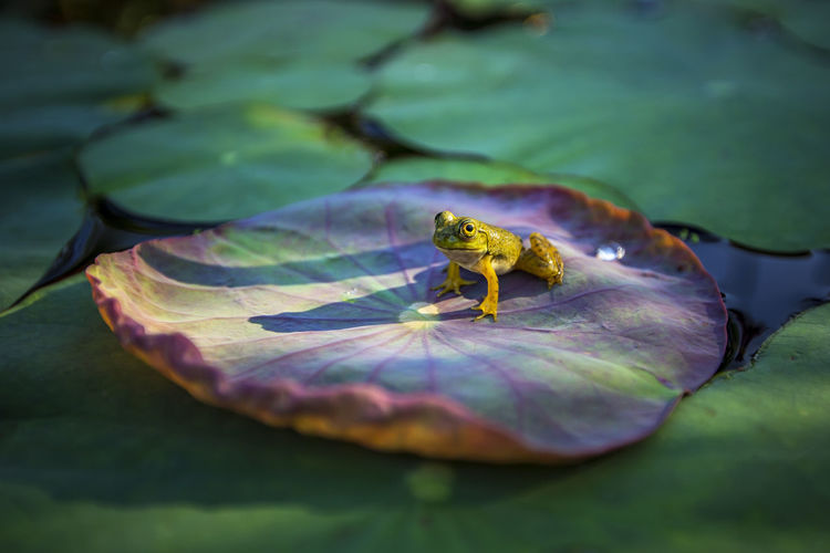 Close-Up Of Frog On Leaf In Lake