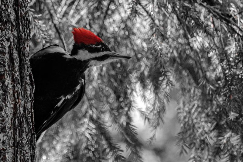 Bird Vertebrate Animal Animal Wildlife One Animal Animal Themes Animals In The Wild Tree No People Low Angle View Nature Day Tree Trunk Red Perching Outdoors Woodpecker