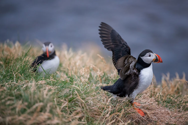 Cute Atlantic Puffin - ratercula arctica in Borgarfjordur eystri ,Iceland. Bird Photography Birds Of EyeEm  EyeEm Nature Lover Iceland Puffin Bird Bird In Flight Bird Watching Fish Icelandic Ocean Puff Pastry Puffins Sea Sea Bird