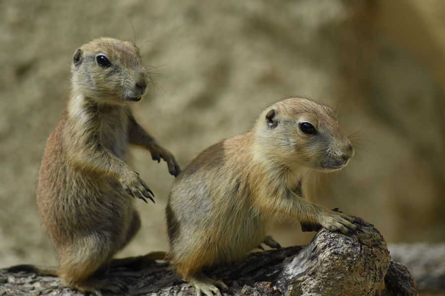 Prairie Dogs Wildlife Prairiedog Prairie Dogs Prairiedogs EyeEm Masterclass Nature_collection EyeEm Nature Lover Nature Cute Cute Animals Animal Babies Wildlife & Nature National Geographic Animal Wildlife Animals In The Wild Animal Day Outdoors Nature Mammal Animal Themes Togetherness Close-up Portrait Full Length