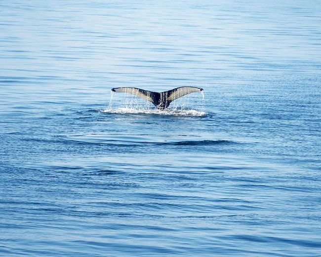 Whale watching At Sea Blue Sea And Sky Boat Day Deck End Of Day Light Rays Nature Nature Beauty Outdoors Poeple Together Poeple Watching Right Whale Sea Serenity Tourist Attraction  Watching Water Reflections Whale Excursion Whale Tail Zodiak