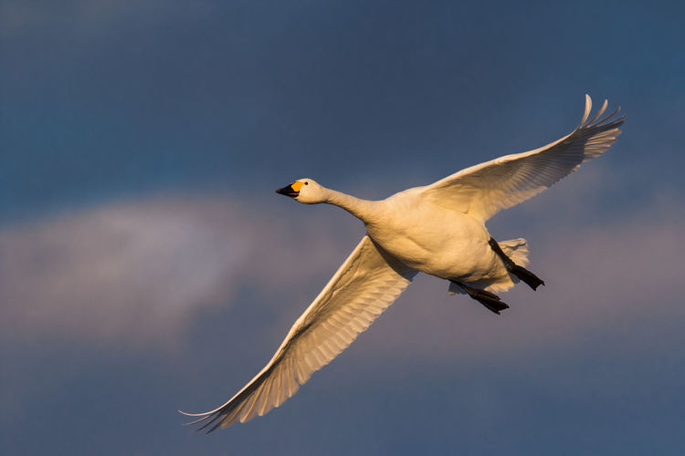 Animal Animal Themes Animal Wildlife Animals In The Wild Bewick's Swan Bird Bird Migration Cygnus Bewickii Cygnus Columbianus Day Endagered Species Flying Motion No People One Animal Outdoors Spread Wings Wintertime
