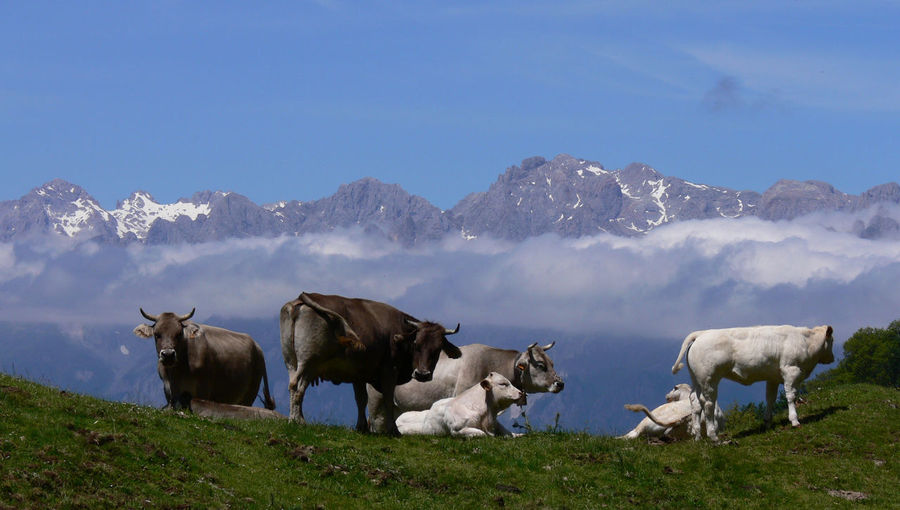 Cows On Field Against Mountains In Foggy Weather
