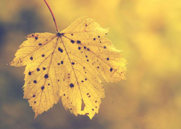 Falling Autumn Bokeh Close-up Fashion Leaf Mapple Nature No People Outdoors Yellow
