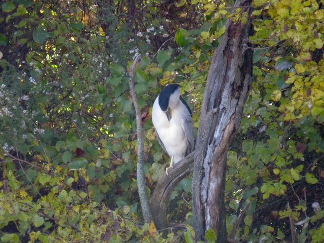 Black capped night heron perched on a bare branch trees leaves nature outdoors Animals In The Wild Bird Animal Themes One Animal Beauty In Nature No People