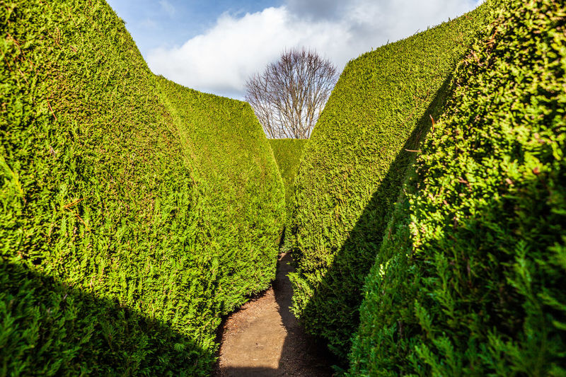 Walkway Amidst Hedges At Maze