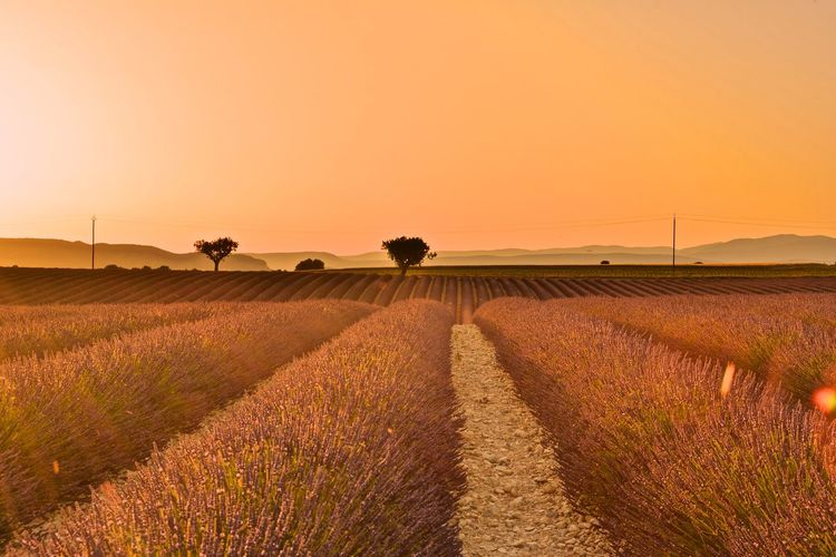 Scenic View Of Lavender Field Against Clear Sky During Sunset