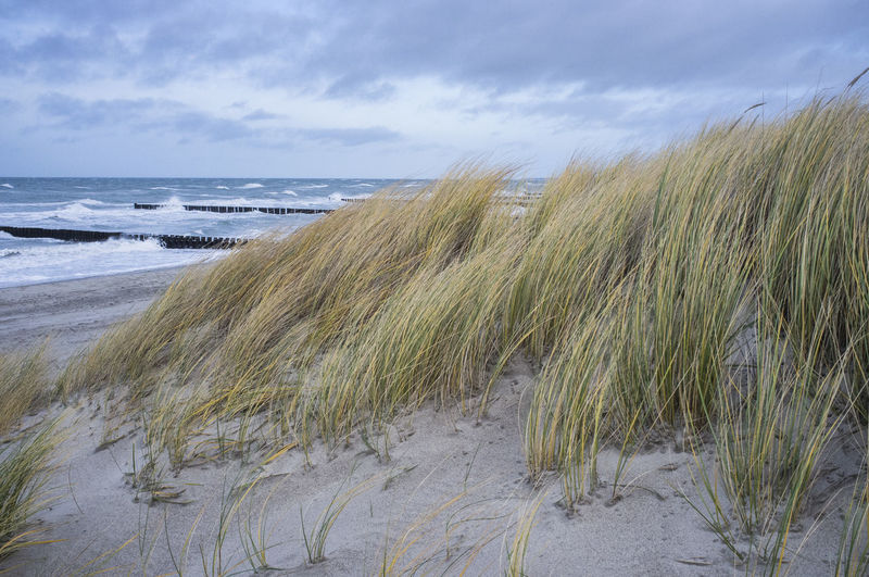 Reeds growing on beach dunes bend by the wind during stormy winter weather Baltic Sea Winter Beauty In Nature Bending Cloudy Sky Cold Days Forceful Nature Fresh Brieze Grasses Grasses Bend By Wind Nature Force Reeds Bend In Wind Stormy Seas Stormy Weather Strong Winds, Cold Weather, DECEMBER❤