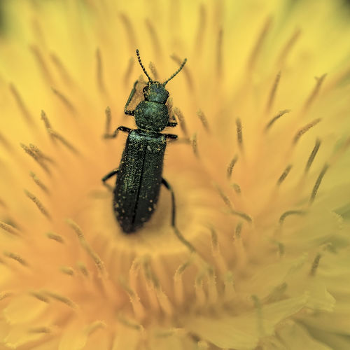 Close-up of false blister beetle on yellow flower