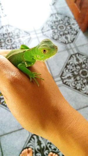 iguana #costarica #pura vida Human Body Part One Animal Body Part Reptile Animal Wildlife Lizard Vertebrate