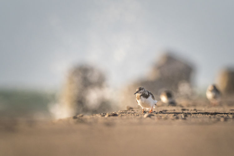Helgoland Helgoland_collection Atlantic Ocean Germany Animal Themes Animal Bird Vertebrate Animals In The Wild Animal Wildlife Selective Focus Day No People Nature Group Of Animals Sparrow Outdoors Perching Close-up Two Animals Beach Land Sand Turnstone