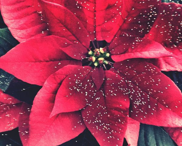 Red Poinsettia Close Up Wet Water Fragility Flower Rain Drop Nature Petal Outdoors Beauty In Nature Close-up No People Freshness Day Rainy Season RainDrop
