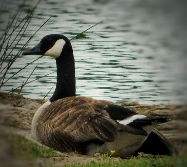 Keeping the eggs warm Majestic Majestic Nature Canadian Geese Canadian Goose On Land Nature Water Grass Water Ripples Outdoors Bird Water Swimming Close-up Canada Goose Goose Geese Water Bird Animal Neck