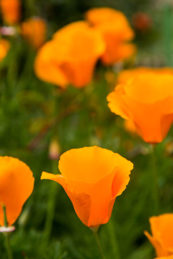 Californian Poppies Beauty In Nature Blooming Botany Californian Poppy Close-up Day Field Flower Flower Head Fragility Freshness Growth Nature No People Orange Color Outdoors Petal Plant Poppy Selective Focus Shallow Depth Of Field Vertical Vibrant Color Yellow