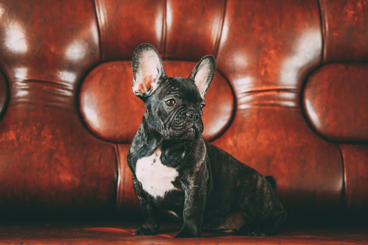 Young Black French Bulldog Dog Frenchy With White Spot Sit On Red Sofa Indoor. Funny Dog Baby Pets Dog French Bulldog Pedigree Breed Purebreed Bulldog Black Sofa Small Sitting Young French Puppy Spot Funny Baby
