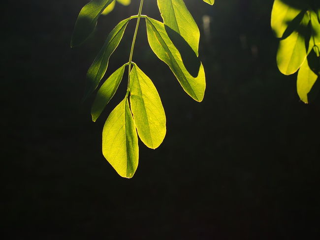 Beauty In Nature Black Background Botany Close-up Dark Detail Focus On Foreground Fragility Green Green Color Growing Growth Leaf Leaf Vein Leaves Natural Pattern Nature No People Outdoors Plant Selective Focus Tranquility Twig