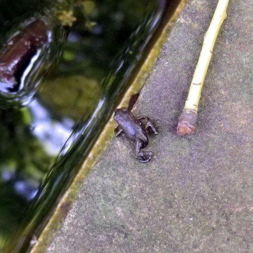 やっぱり帰る… まだいいかな Tadpoles Frog オタマジャクシ オタマジャクシ カエル