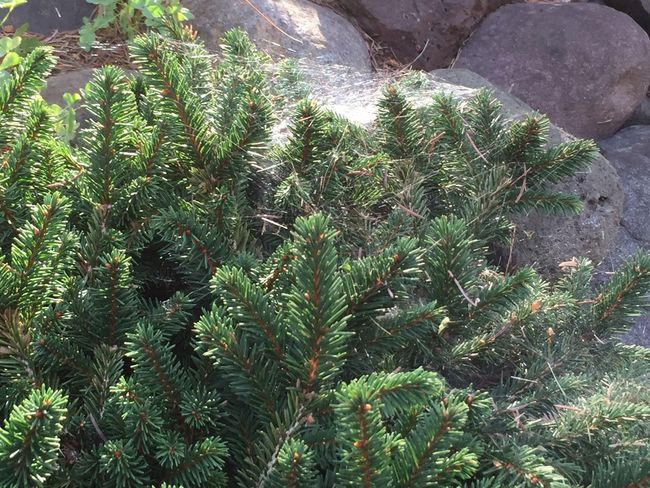 Evergreen shrub & cheeky Flora Spider Web