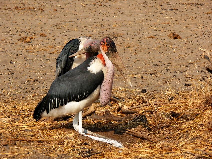 Tansania 2008 Tarangire Marabou Birds