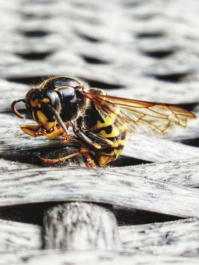 It was too warm for him. Wasp Eyem Best Shots Insect Wing Bee Perspective EyeEm Selects EyeEm Gallery EyeEm Masterclass Focus On Foreground EyeEm Best Shots No People Close-up Animal Themes Buzzing Wasp Animal Leg