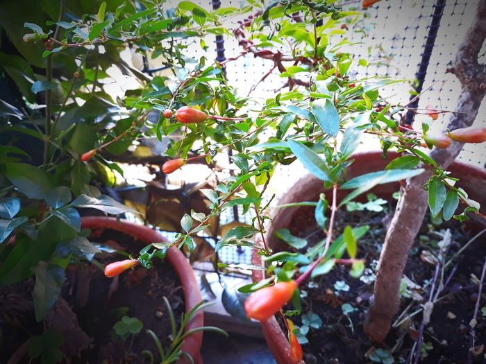 Bonsai melograno Little Fruit Melograno Bonsai Bonsai Tree Tree Leaf Fruit Greenhouse Close-up Plant