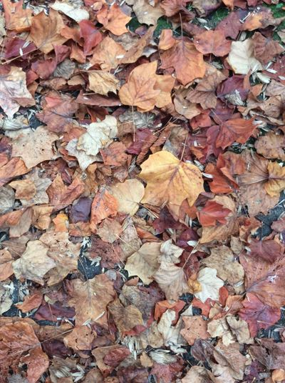 Canada Autumn leaves Dry Maple Leaves golden brown and Autumn yellow and burnt colours October Morning Street Debris Dried