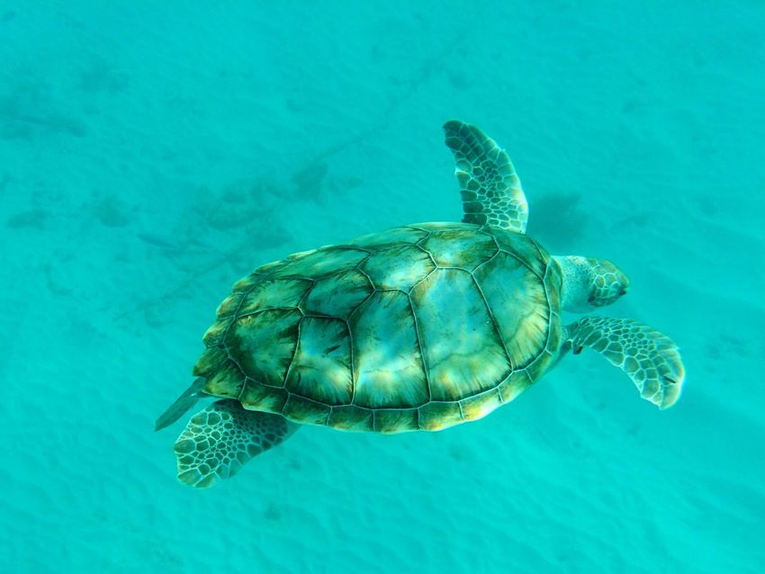 Turtle Underwater Barbados Travel Snorkeling