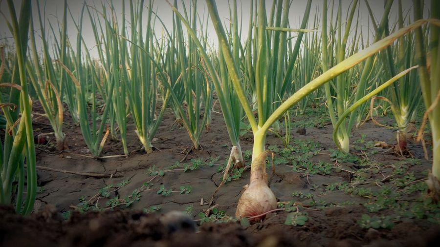 Onion Onion Family Onion Plant Farm Plants 🌱 Grenn Color Of Life Coloroflife