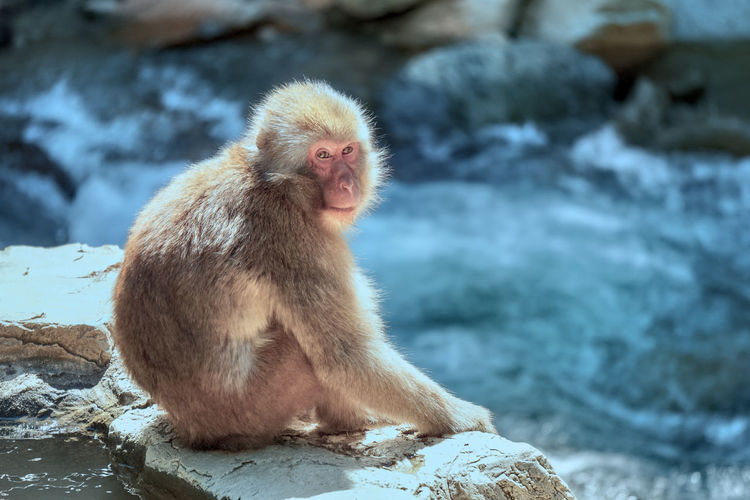 A japanese macaque monkey sitting on a rock on the side of a stream.