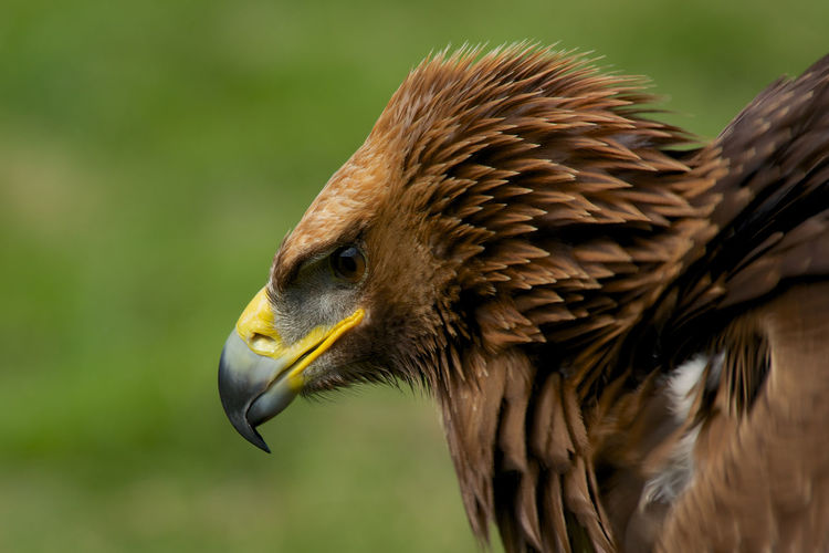 Profile View Of Golden Eagle