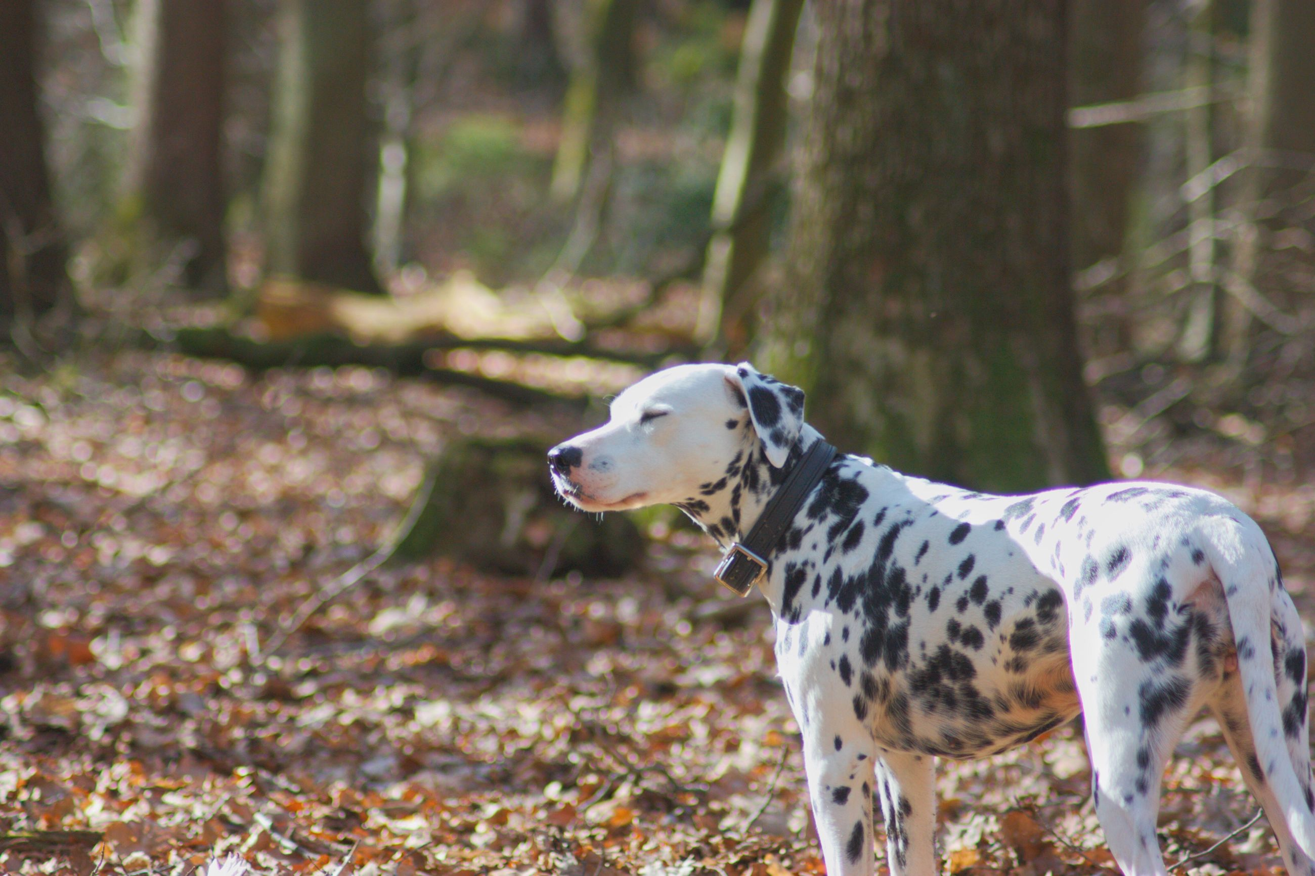 one animal, animal themes, domestic animals, mammal, pets, outdoors, nature, dog, day, tree, no people, spotted, dalmatian dog
